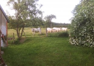 rondom de boerderij De vriendelijk en nieuwsgierige Charolais koeien in de wei rondom het huis, zorgen voor een gezellige sfeer.