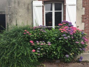 Hortensia voor het raam zoals het hoort