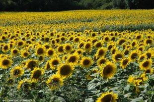 Prachtige zonnebloemvelden Overal in de omgeving kunt u genieten van weilanden, tarwe- en zonnebloemenvelden.