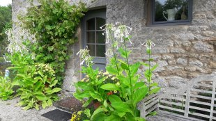 Heavenly scented flowers outside kitchen door